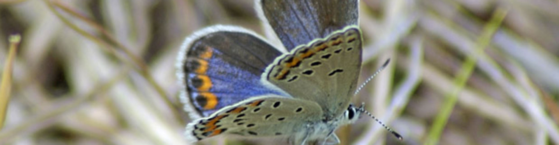 Help protect the Karner Blue Butterfly